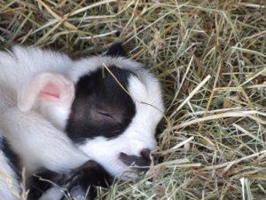 les chevreaux sont nés à la ferme pédagogique du parc du Reynou
