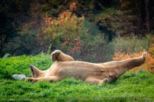 ours polaire au parc zoo du reynou