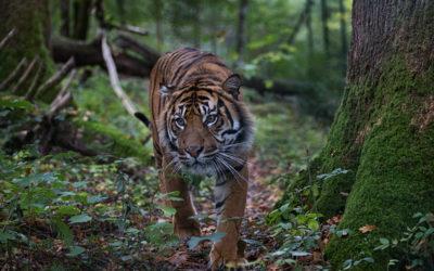 Evènement : à la découverte des Tigres !