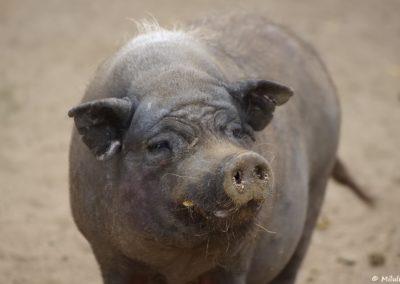 Cochon de Göttingen