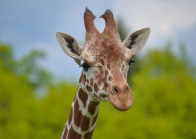 Girafe réticulée