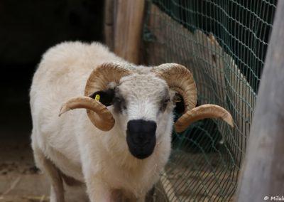 Mouton Thônes et Marthod