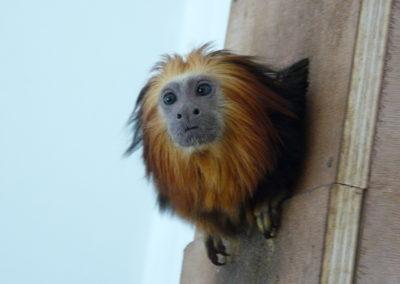 Tamarin tête de Lion