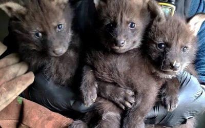 Naissance de trois loups à crinière