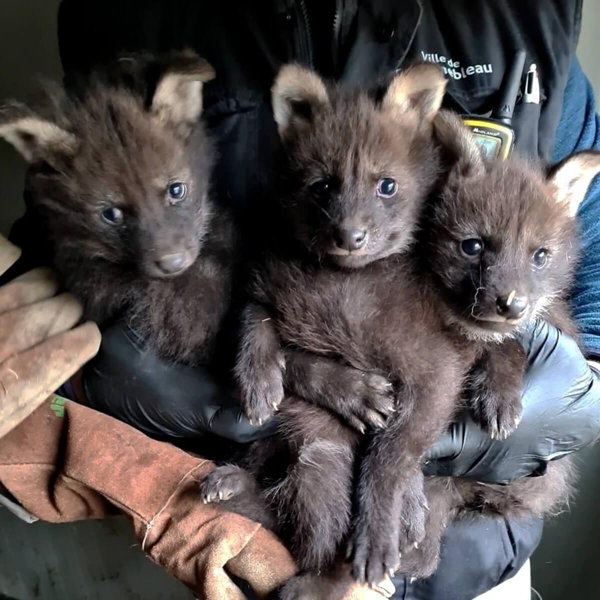 Naissance loups à crinière Parc du Reynou