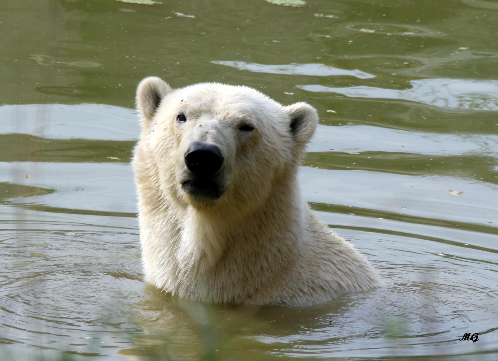 parc-du-reynou-ours-polaire